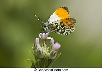 Male Orange Tip Butterfly on Flower