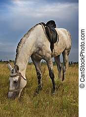Gray horse - Single gray horse feed on meadow in East Europe