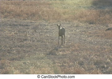 Whitetail Doe Walking - a whitetail doe walking across a...