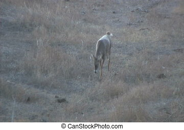 Whitetail Buck Walking - a whitetail buck walking toward the...