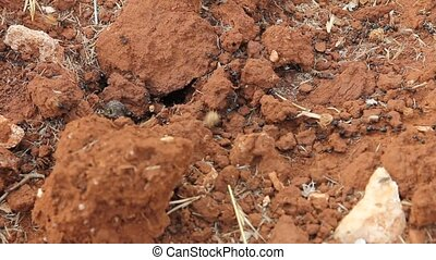 Anthill entrance with working ants carrying heavy loads on...