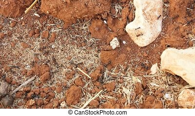 Working ants carrying heavy loads on red clay earth view...