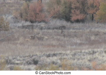 Whitetail Bucks - three whitetail bucks in a field