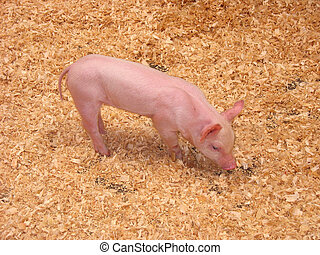 Little Piglet - A cute piglet sniffing around with his...