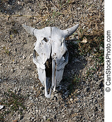 Bleached weathered cattle skull with horns intact lying on...