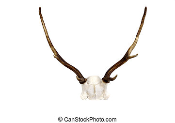 Fallow Deer antler and skull plate - A small New Zealand...