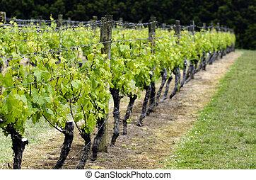 Vineyard in New Zealand - Vineyard in northland New Zealand...