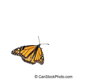 Monarch butterfly - Monarch butterfliy isolated on a white...