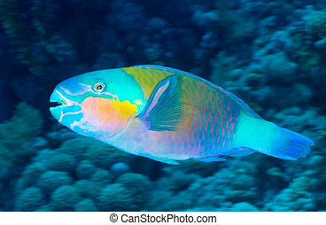 Daisy parrotfish Chlorurus sordidus in the Red Sea, Egypt