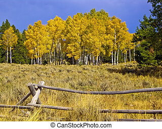 Aspen - Yellow aspens in Fall with jakeleg fence in...