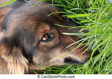 detail of the brown dog (head) in the green grass