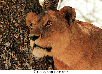 Portrait of a Lioness (Panthera Leo) in a Tree, Serengeti,...