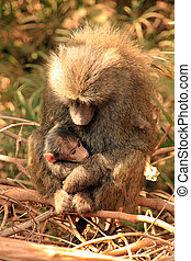 Olive Baboon Papio Anubis with Baby in Her Arms, Lake...