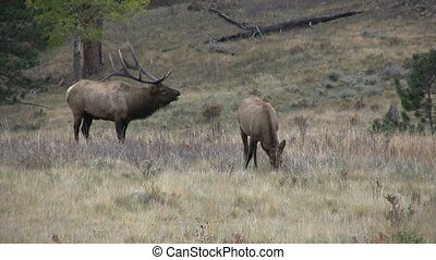 Rutting Elk - a bugling bull elk and cows during the fall...