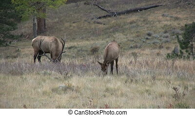 Rutting Elk - a bull elk and cows during the fall rut