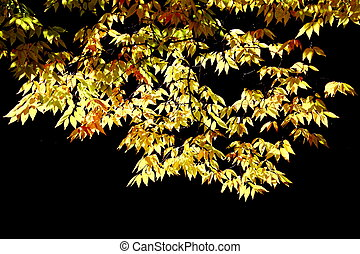hornbeam tree foliage - beautiful colored hornbeam tree...