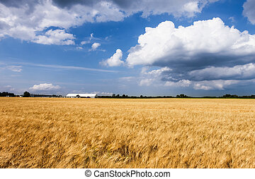 Wheat field in countryside farm