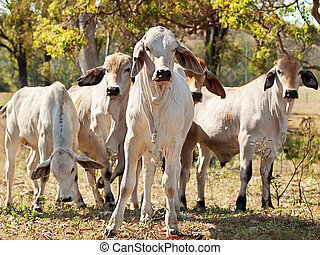 Young Brahman herd on ranch Australian beef cattle - Five...