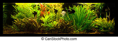 Freshwater aquarium with fish pterophyllum scalare - A green...