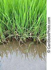 Paddy Rice Fields