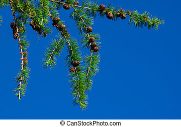 Pine tree and cones