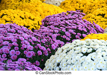 Mums - An assortment of lavender, white, and yellow fall...