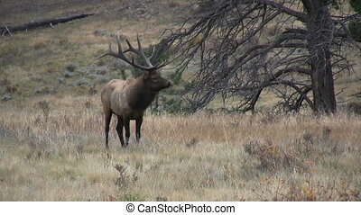 Bull Elk - a big bull elk in a mountain meadow