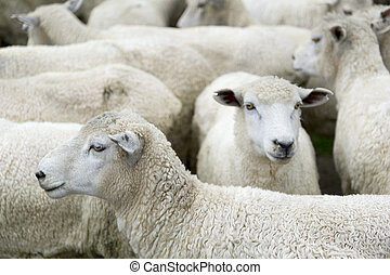 Sheep on the grass