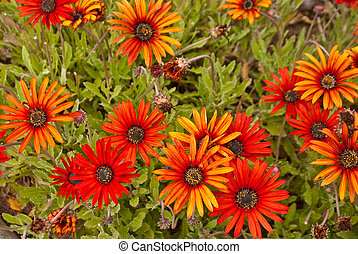 Cluster of orange daisies - Cluster of orange and yellow...