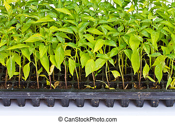 Small chili plants