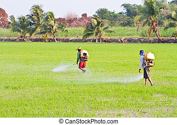 Farmers spraying pesticide in paddy