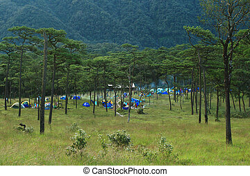 A group of tents in the pine forest