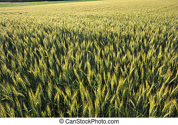 Wheatfield in ripening stage - Wheatfield in ripening period...