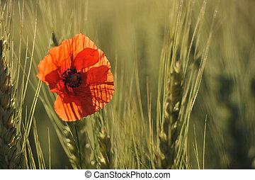 Lonely poppy in a wheatfield
