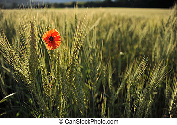 Lonely poppy in a wheatfield view from far