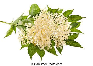 Elder flowers isolated on white