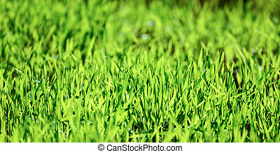 Field of young green wheat grass