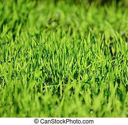 Green wheat grass