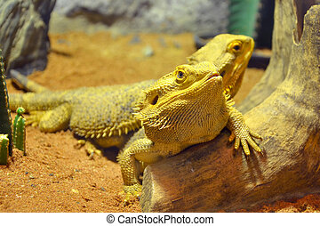 bearded dragons (pogona vitticeps)