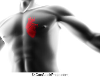 heart in man body isolated