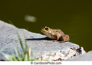Green frog - green frog in a rock near a pond