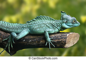 Basiliscus plumifrons - Beautifull picture of green lizard...