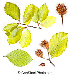 Collection of european beech leaves shoot with nuts