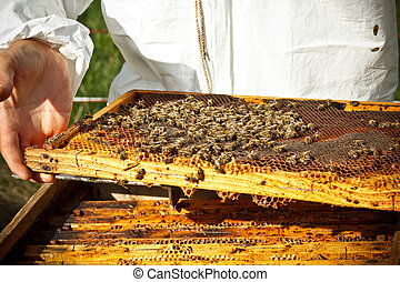 Beekeeper in an apiary holding a frame of honeycomb