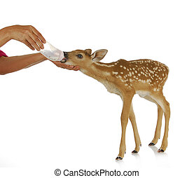 hand raising fawn - woman bottle feeding baby doe isolated...