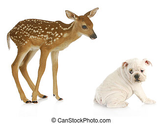 unusual friends - baby doe and english bulldog isolated on...