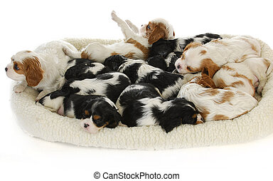 litter of puppies - thirteen cavalier king charles spaniel...