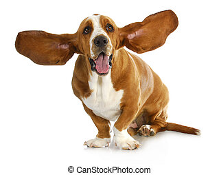 happy dog - basset hound with