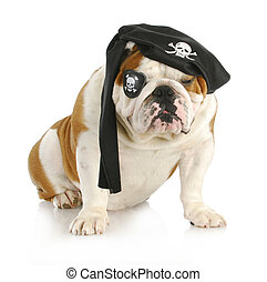 dog pirate - english bulldog dressed up like a pirate on...