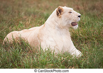 White lion - Laying on the grass, but something caught her...